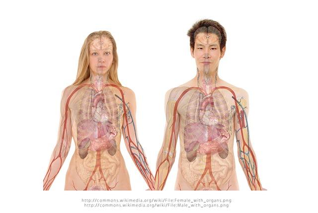 muž žena, vnitřní orgány, oběhový systém